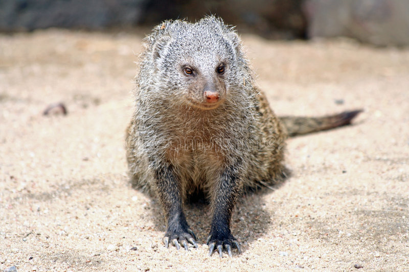 Download Mongoose stock image. Image of creature, africa, mammal - 9171991