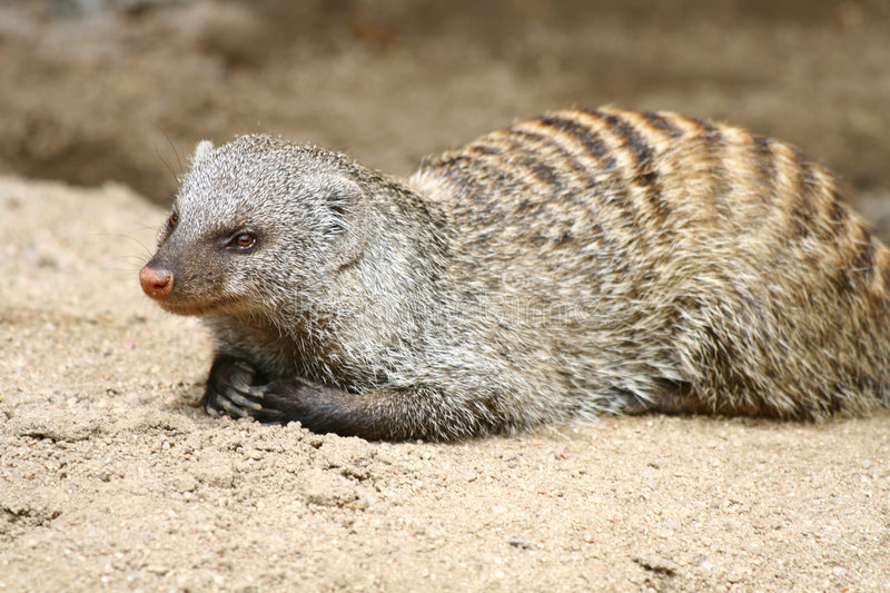 Download Mongoose stock photo. Image of watch, conservation, african - 9171998