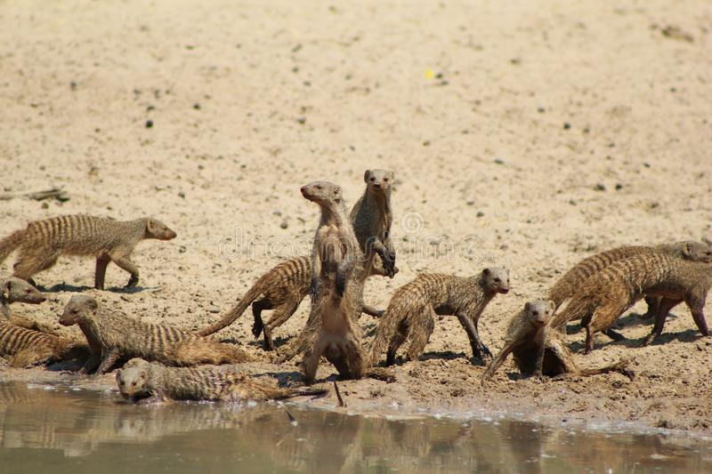 Download Mongoose, Banded - African Band Of Brothers Stock Photo - Image: 26937188