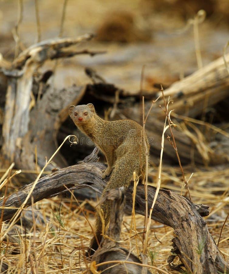 Mongoose delgado imagem de stock royalty free