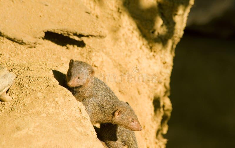 Download Mongoose dois imagem de stock. Imagem de afilado, caudas - 16853295