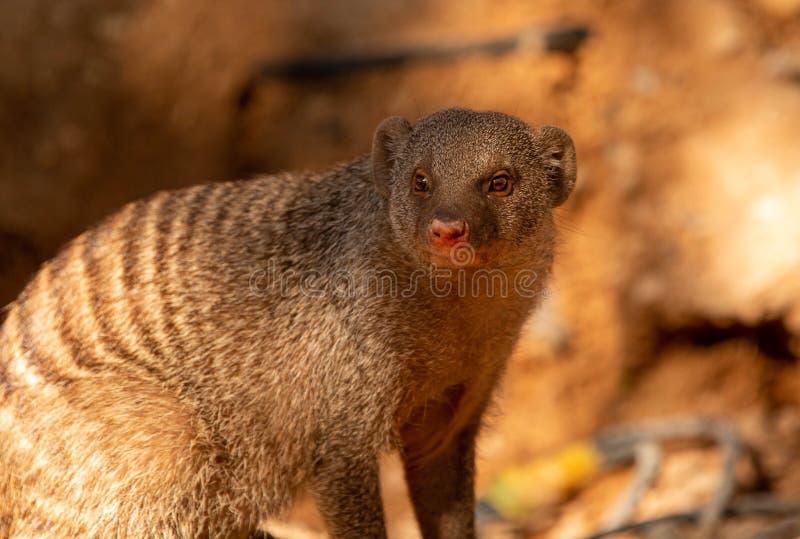Mongoose fotografering för bildbyråer