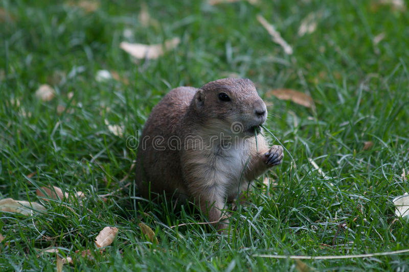Mongoose In The Grass Stock Image