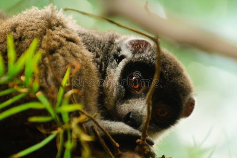 Mongoose Lemur stock photos