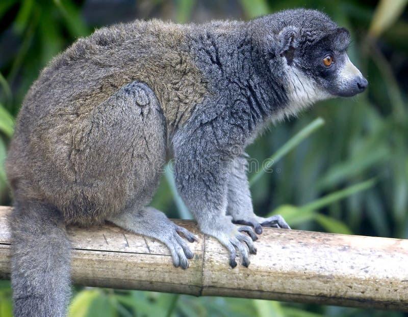 Download Mongoose lemur 5 stock image. Image of ecology, jungle - 10472057