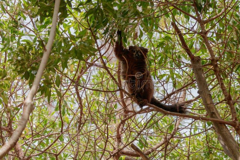 Mongoose lemur looking at the camera long shot royalty free stock photography