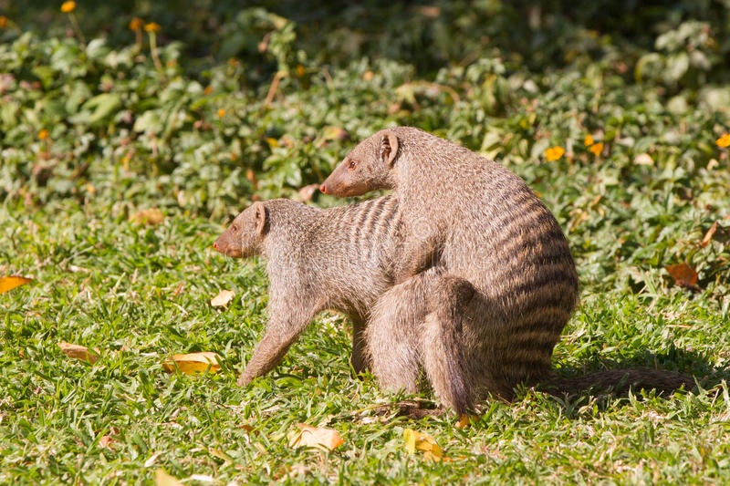 Mongoose love. Mongoose breeding with female mongoose stock images