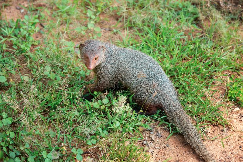 Mongoose in national park Yala royalty free stock photography