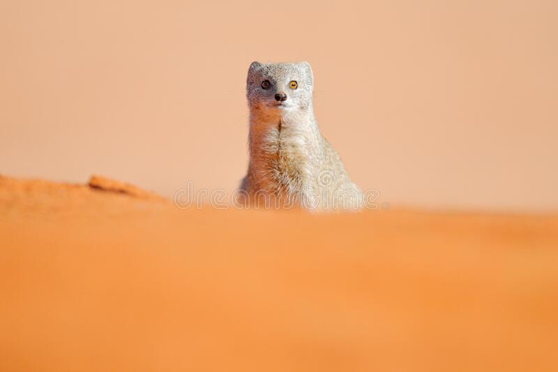 Mongoose in red sand, Kgalagadi, Botswana, Africa. Yellow Mongoose, Cynictis penicillata, sitting in sand with green vegetation. royalty free stock photo