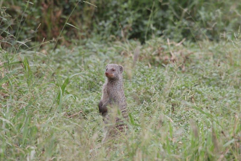 Mongoose unido imagens de stock