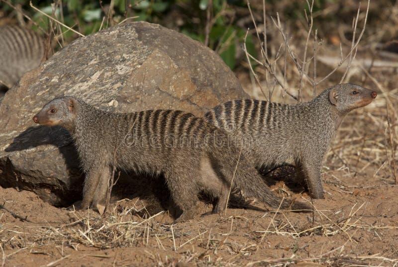 Mongoose unido - Botswana imagem de stock royalty free