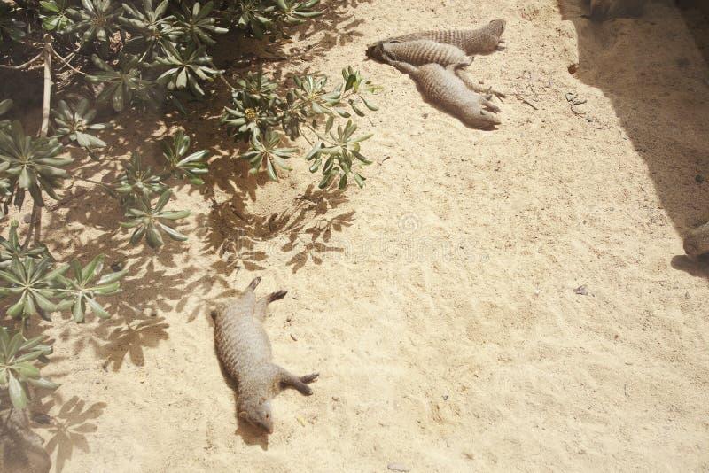 Mongooses που βρίσκονται στην άμμο στοκ εικόνες