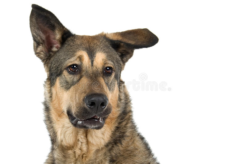 Mongrel dog. Portrait of young mongrel German Shepherd dog isolated on white background stock images