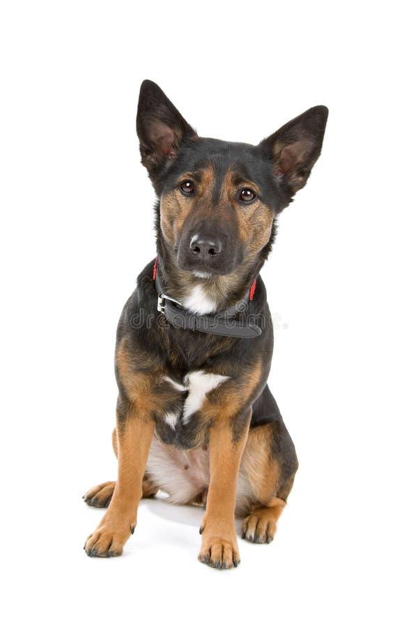 Download Mongrel dog stock image. Image of mixed, animal, breed - 14128009