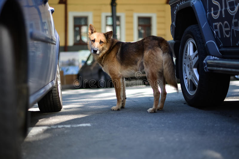The mongrel dog looks sad royalty free stock photography