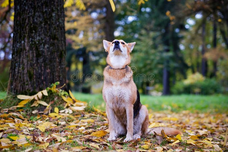The mongrel dog sits in the autumn park and enjoys a walk. Around the fallen yellow leaves. stock photo