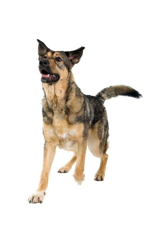 Mongrel German Shepherd dog. Closeup of mixed breed German Shepherd dog, isolated on white background stock images