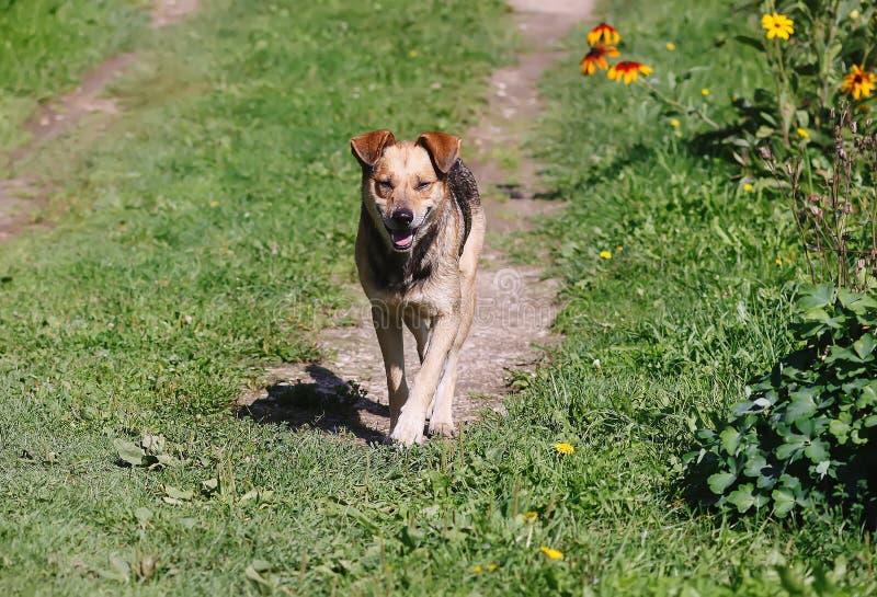 Mongrel Hund auf grüner Wiese auf dem Land stockbilder
