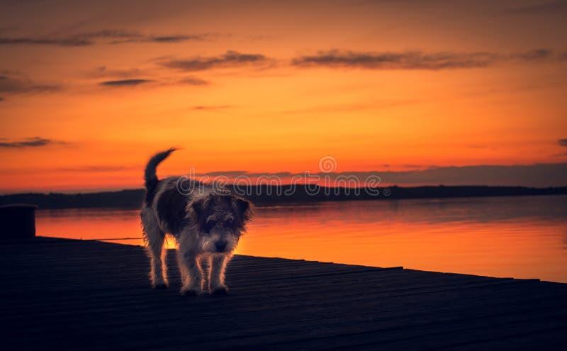 Mongrel-Hund, der bei Sonnenuntergang auf dem Pier spaziert stockfotos