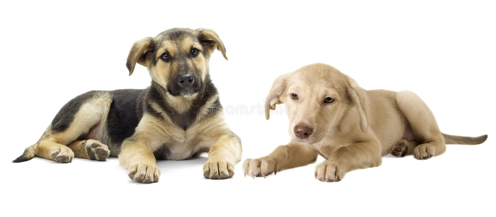 Mongrel puppy looks. On a white background stock photography