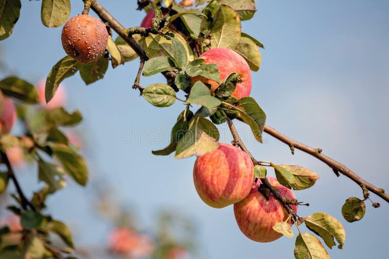 Monilia för Monilinia fruktröta fotografering för bildbyråer