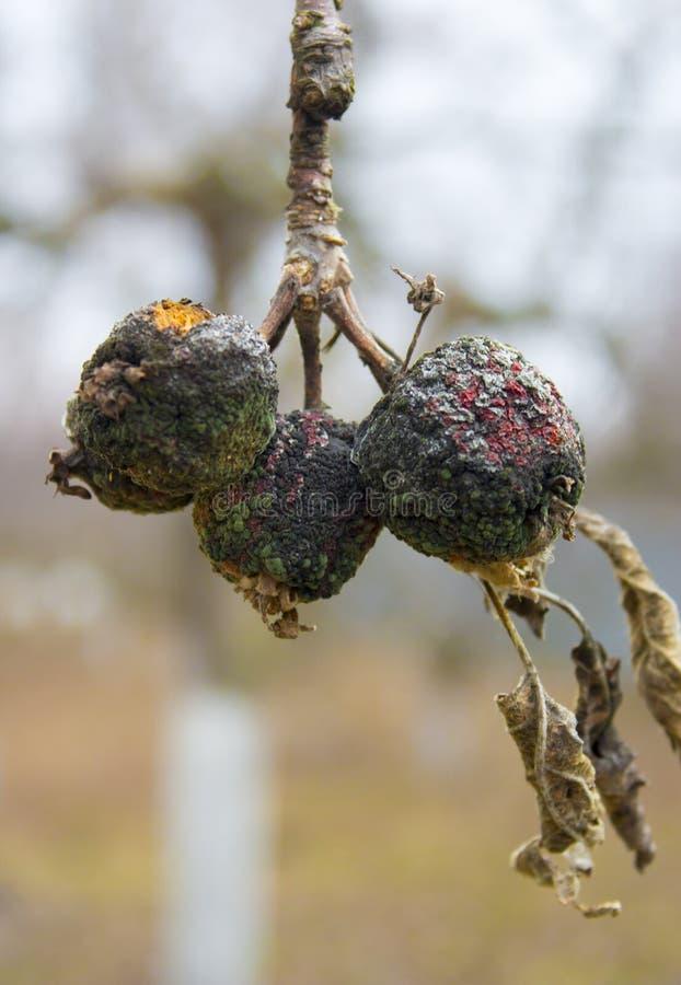 Moniliosis en sjukdom av fruktträd som leder till förstörelsen av skörden fotografering för bildbyråer