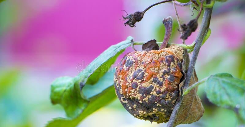 Moniliosis en sjukdom av fruktträd som leder till förstörelsen av skörden royaltyfri bild