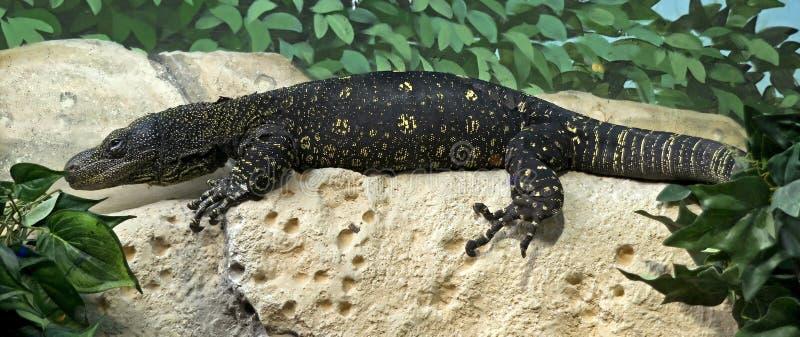 Moniteur 1 de crocodile photos libres de droits