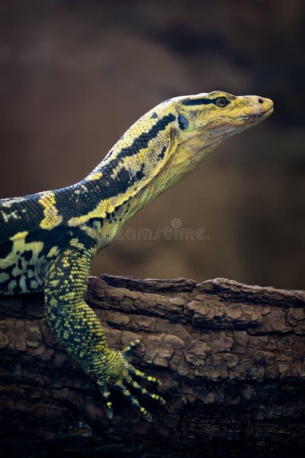 moniteur d'eau à tête jaune (cumingi de Varanus) images stock