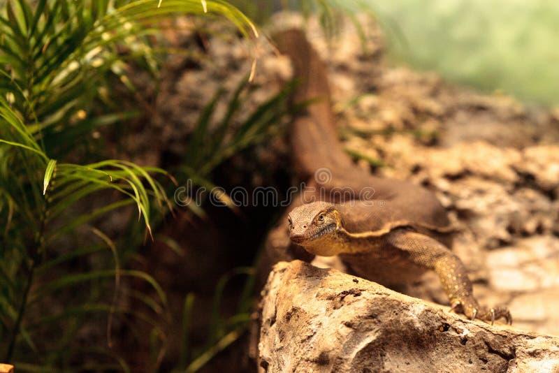Download Moniteur D'eau Du Genre Varanus Image stock - Image du sauvage, lézard: 87701923
