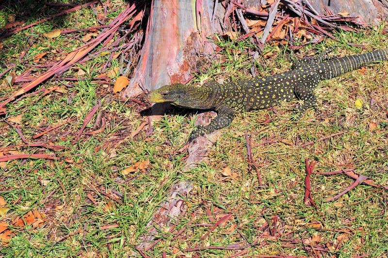 Moniteur de crocodile photos stock