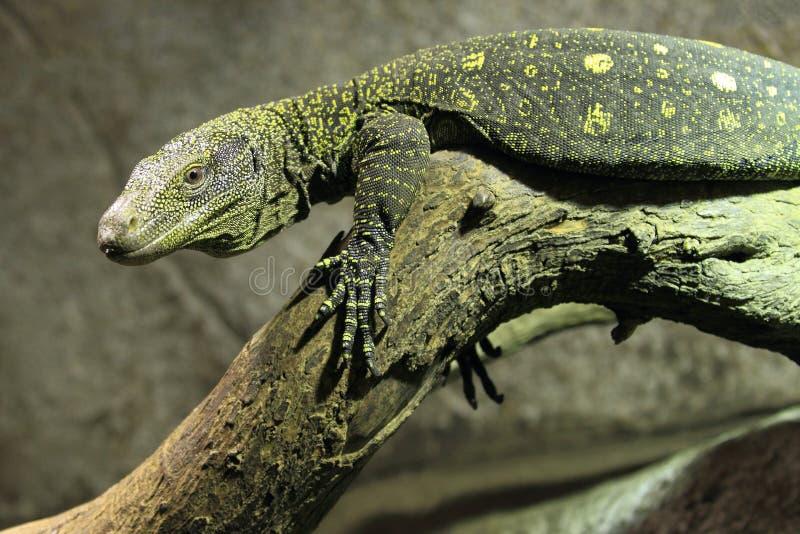 Moniteur de crocodile images libres de droits