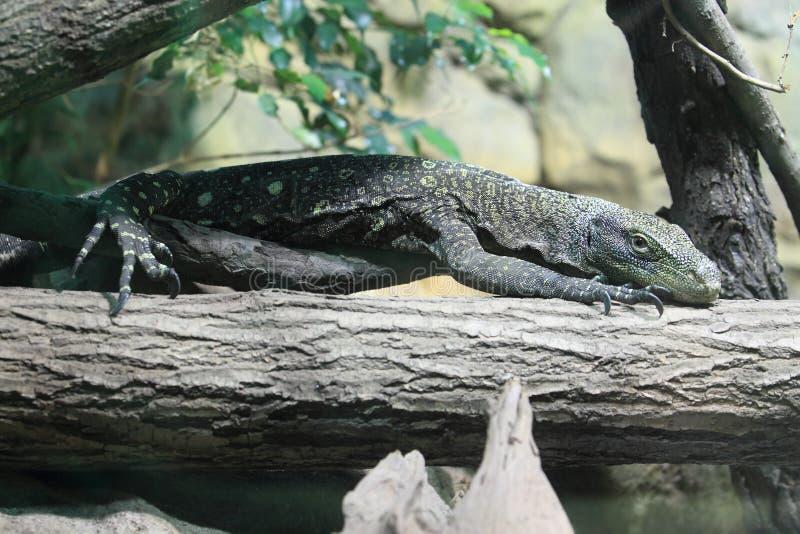 Moniteur de crocodile photographie stock libre de droits