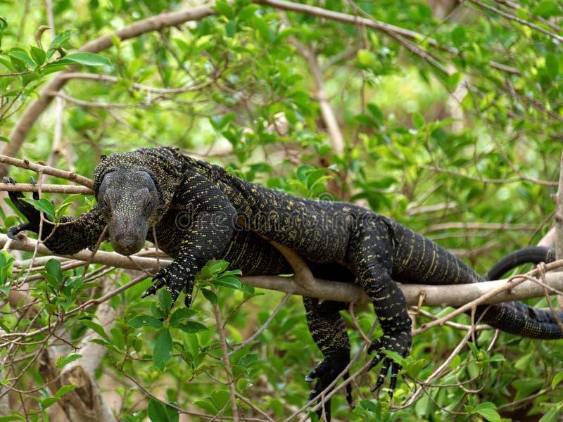 Moniteur de crocodile photo libre de droits