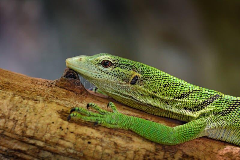 Moniteur vert d'arbre, prasinus de Varanus, portrait de d?tail du beau l?zard vert, sittin sur le tronc d'arbre dans la nature sa photos stock