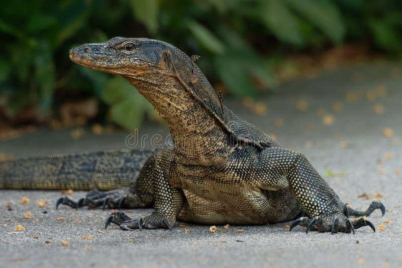 Monitor de água asiático - do Varanus do salvator monitor de água comum igualmente, grande nativo do lagarto do varanid a 3Sul da imagens de stock