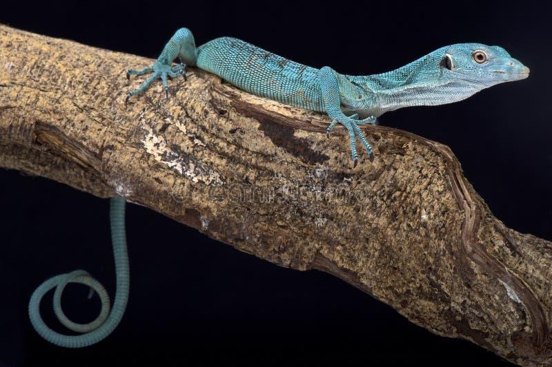 Monitor esmeralda del árbol, prasinus del Varanus foto de archivo libre de regalías