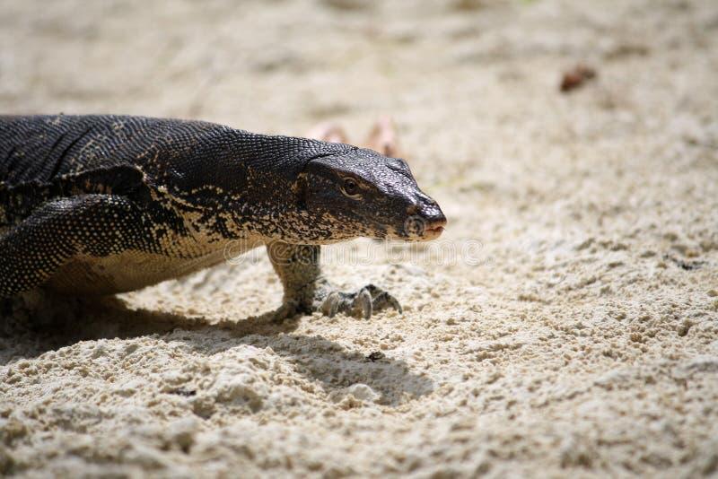 Monitor jaszczurka na piasku zdjęcie royalty free