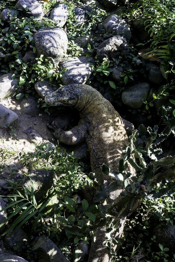 Monitor jaszczurka od Komodo obraz royalty free