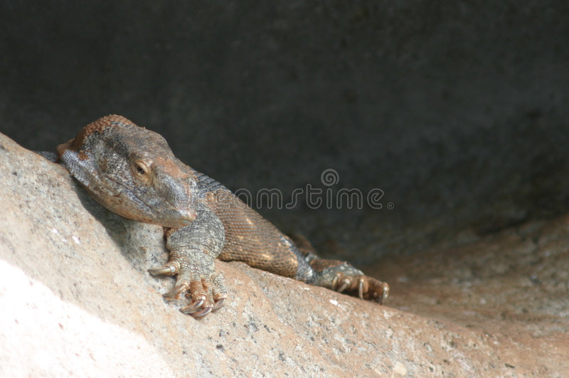 Download Monitor Lizard Stock Photo - Image: 1700