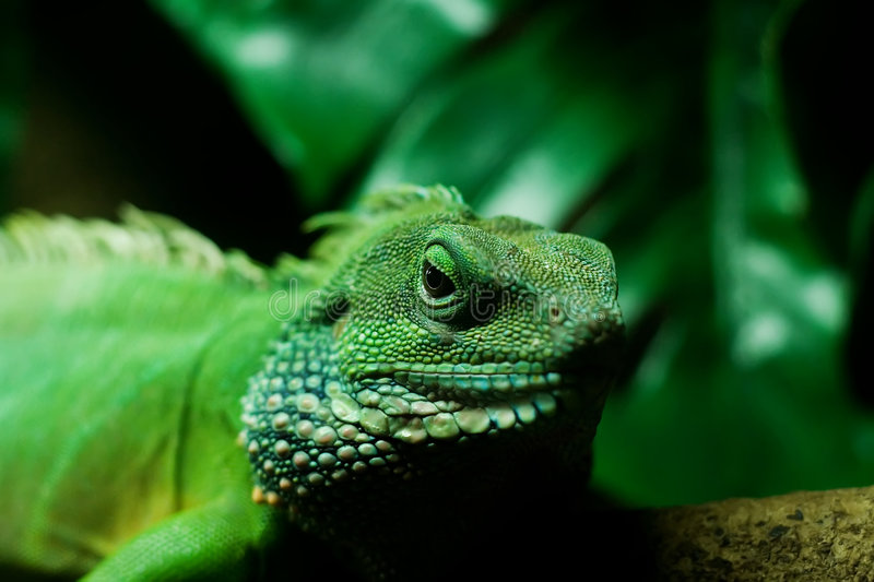 Download Monitor Lizard stock image. Image of green, lizard, forest - 1285239