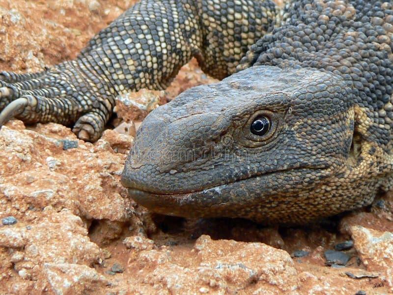 Download Monitor Lizard stock photo. Image of scaly, lizard, savannah - 13433404