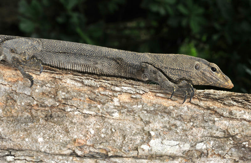 Download Monitor lizard ( stock photo. Image of skin, asia, reptile - 16265560