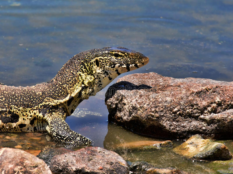Download Monitor lizard stock image. Image of large, stream, snake - 22877857