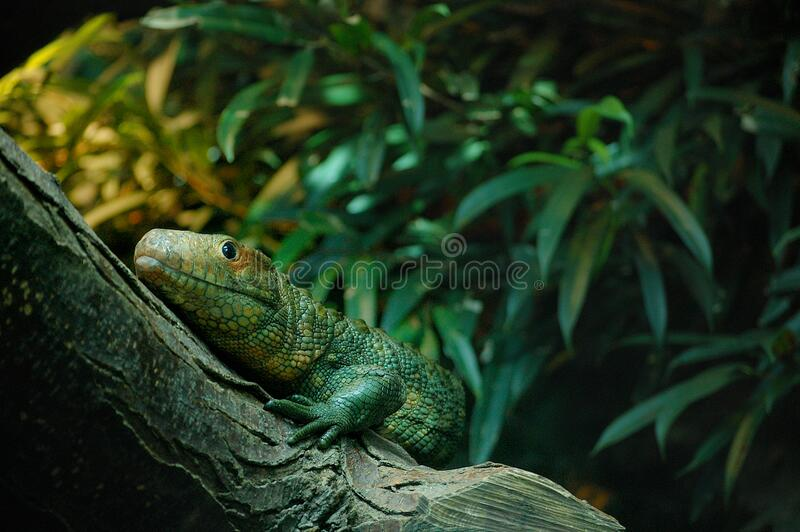 Monitor lizard stock images