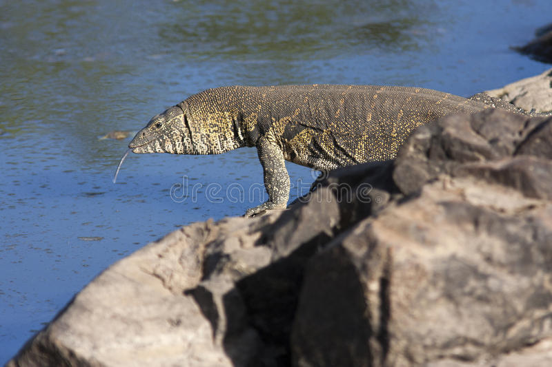 Monitor lizard on the coast of the African river with his tongue hanging out royalty free stock photos