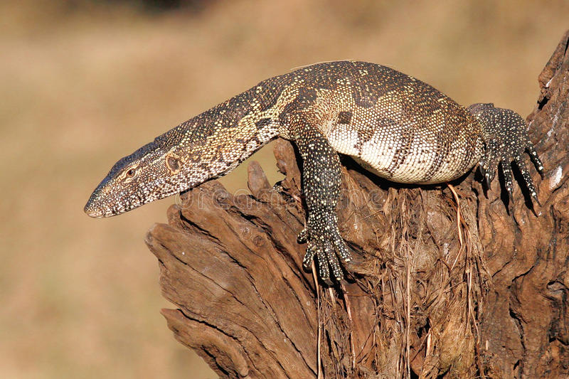 Monitor lizard laying on log. Monitor lizard laying on a log photographed in Southern Africa royalty free stock images