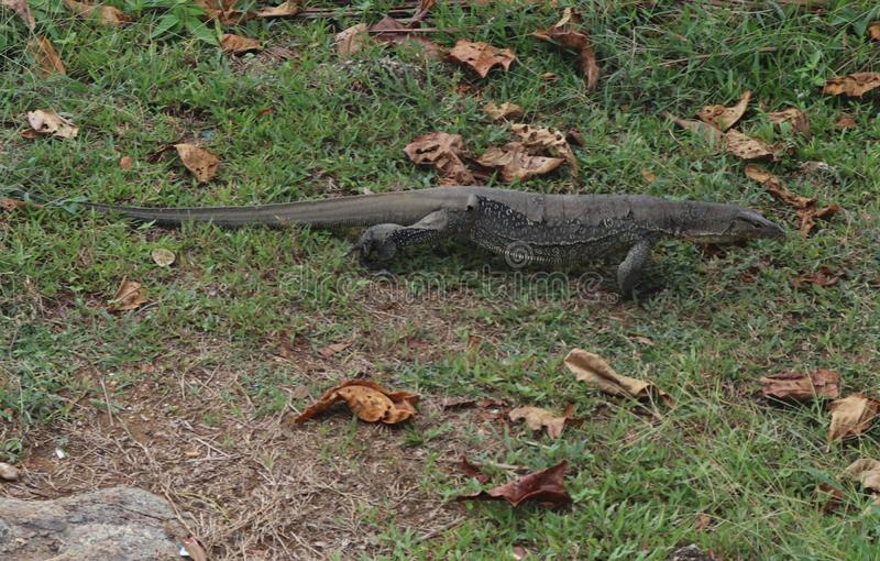 Monitor lizard walking around. Perhentian island nature stock photos