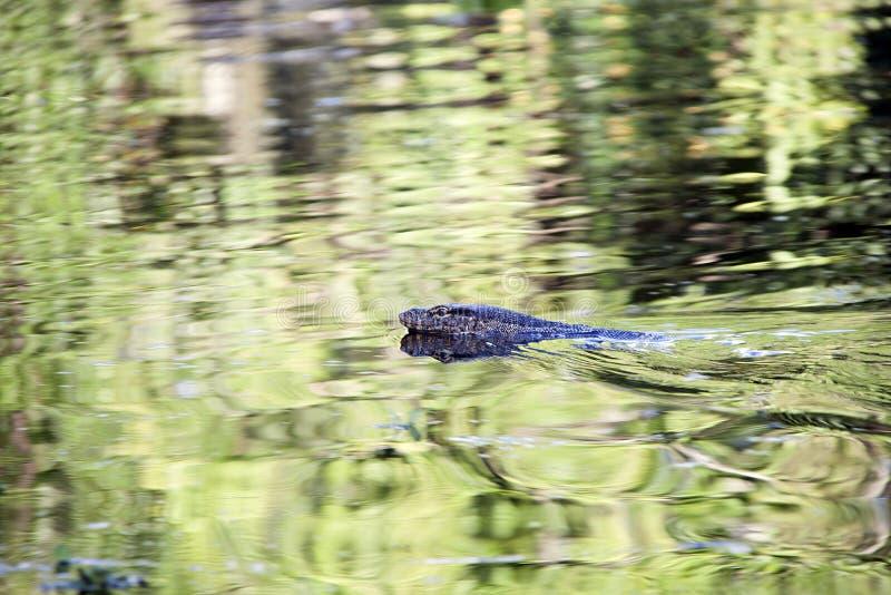 Monitoreidechsenschwimmen im Wasser stockfoto