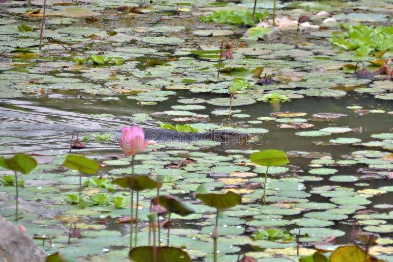 Monitorhagedis die in een lelievijver zwemmen in Azië stock afbeeldingen